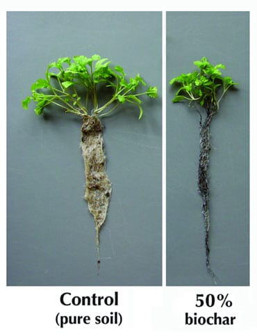 Biochar and Soil-Plant Effects – lab tests stir up more questions